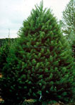 Fresh cut Douglas Fir