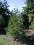Choose and Cut Sierra Redwood