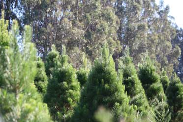 The Trees at Little Hills Christmas Tree Farm